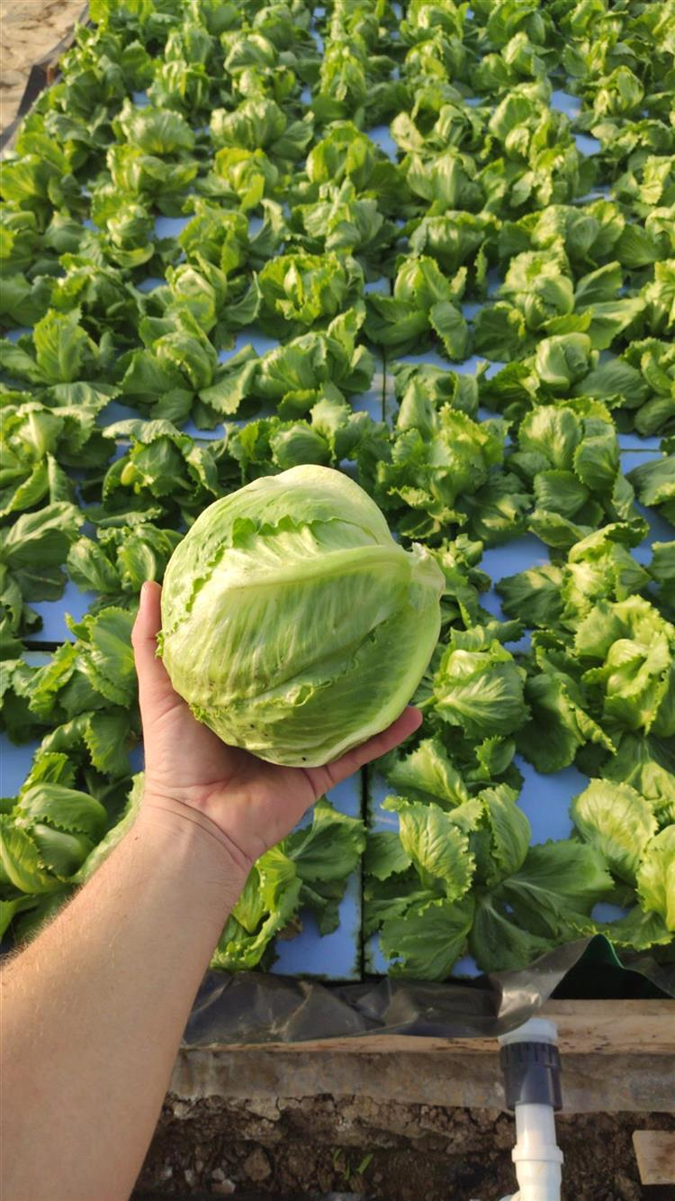 Growing Lettuce İceberg İn Hydroponic System. No Pestit.