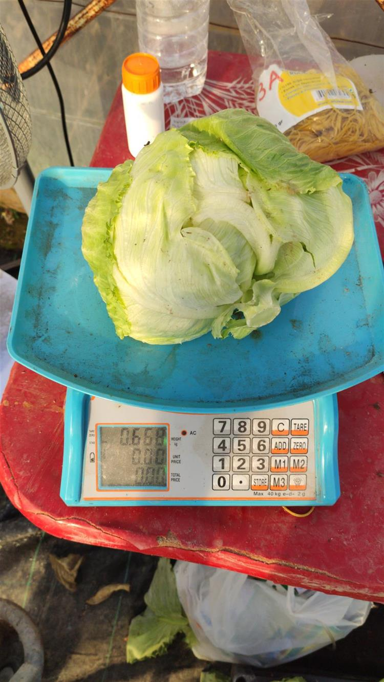 Growing İceberg Lettuce İn Hydroponic System. No Pestit.